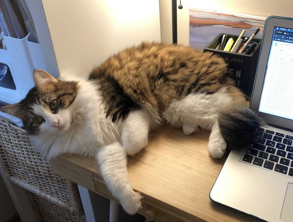 working-from-home-pet-cat